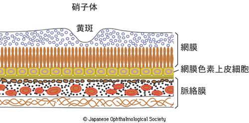 網膜周辺部の構造