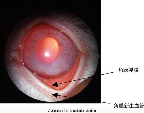 非酸素透過性HCLを3日連続装用したウサギ角膜